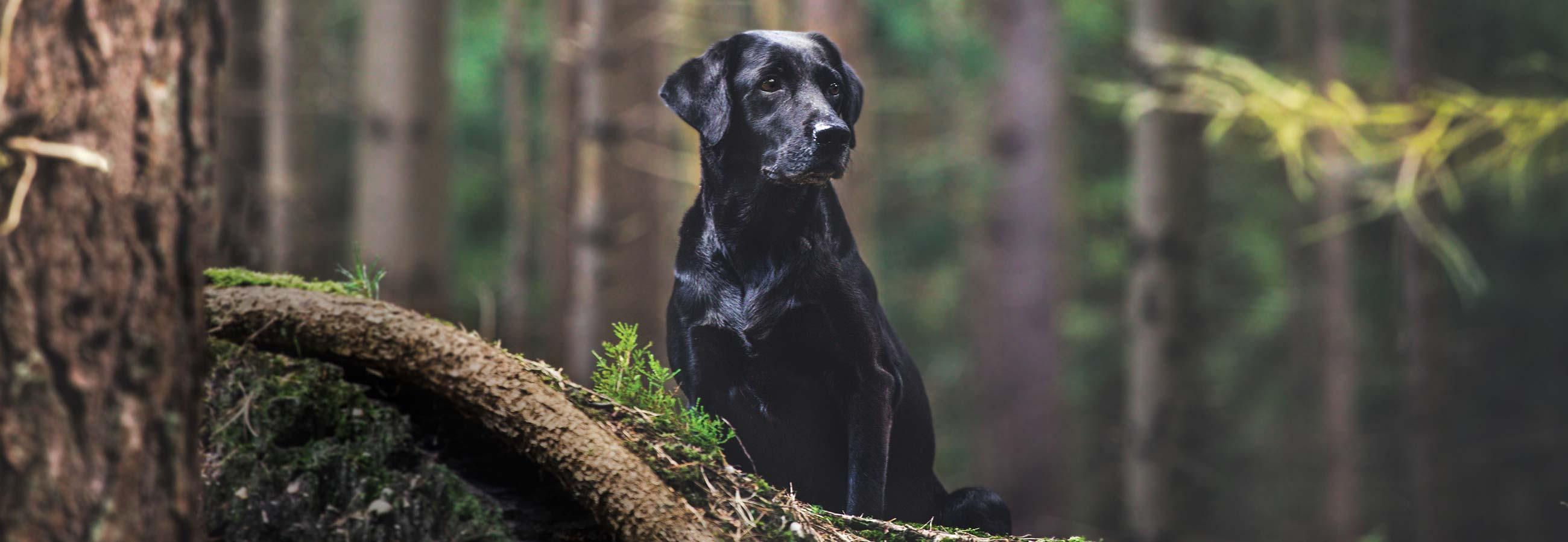 black lab sitting in forest